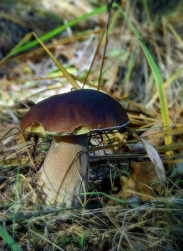 hříbek z Krásetínského lesa